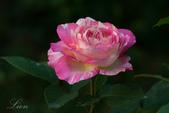 又見玫瑰花開:DSC_0124.jpg