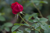 又見玫瑰花開:DSC_0137.jpg