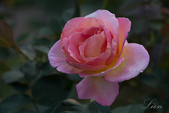 又見玫瑰花開:DSC_0142.jpg
