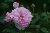 又見玫瑰花開:DSC_0132.jpg