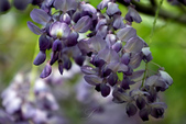紫藤咖啡園:DSC_0560.jpg