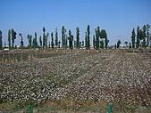 新疆 - 北疆:奎屯 - 棉花田