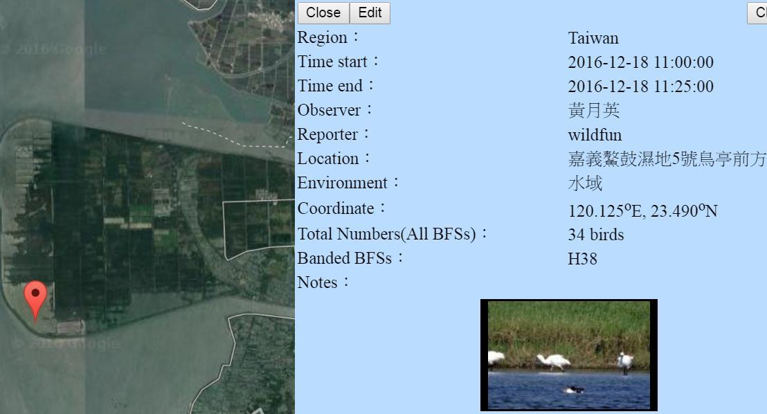 黑琵H38在鰲鼓濕地登錄紀錄-20161218-黃月英.jpg - 黑面琵鷺