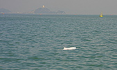 中華白海豚:中華白海豚在香港沙洲與龍鼓洲海岸公園海域-20091223