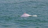 中華白海豚:中華白海豚在香港青山火力發電廠外海-20091223-賴鵬智攝