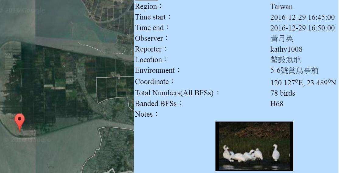 黑琵H68在鰲鼓濕地登錄紀錄-20161229-黃月英.jpg - 黑面琵鷺