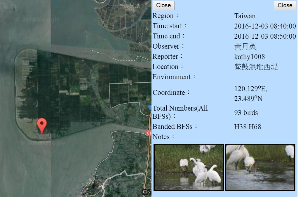 黑琵H38H68在鰲鼓濕地登錄紀錄-20161203-黃月英.jpg - 黑面琵鷺