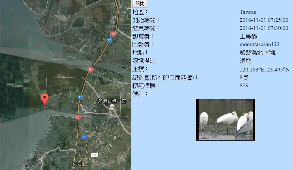 黑琵S79在鰲鼓濕地登錄紀錄-20161101-王美錦.jpg - 黑面琵鷺