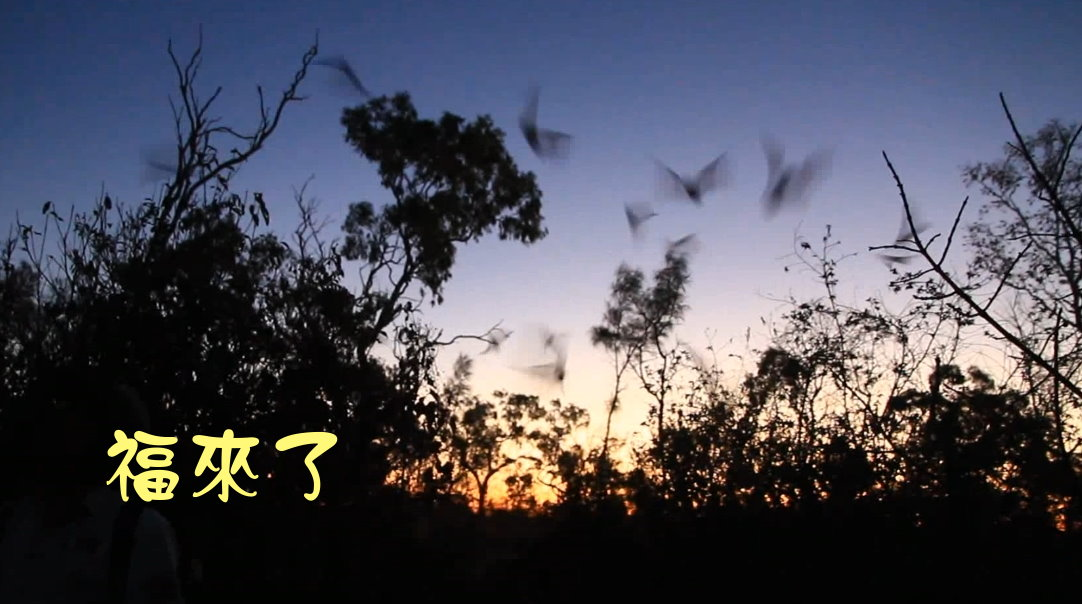 蝙蝠出洞-澳洲昆士蘭undara NP-20141116-後製.jpg - 日誌用相簿