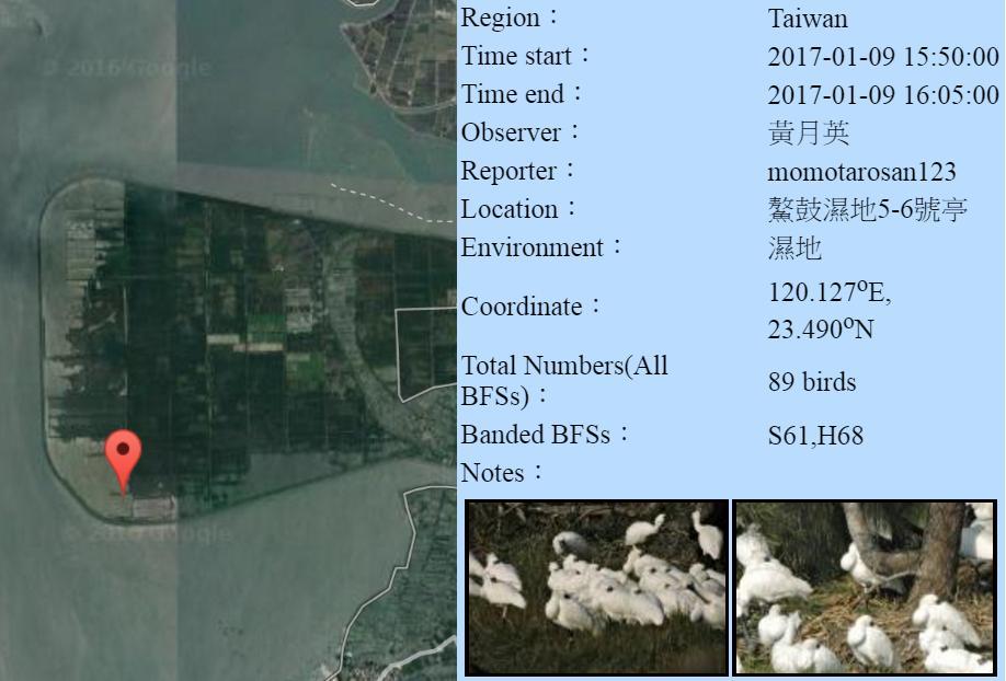 黑琵H68S61在鰲鼓濕地登錄紀錄-20170109-黃月英.jpg - 黑面琵鷺