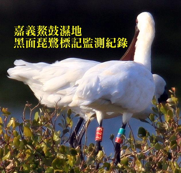 黑面琵鷺E77腳環格放-嘉義鰲鼓濕地-201312021458-賴鵬智攝-縮-後製.jpg - 黑面琵鷺