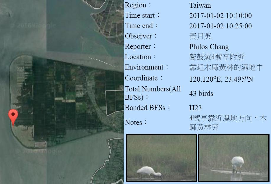 黑琵H23在鰲鼓濕地登錄紀錄-20170102-黃月英.jpg - 黑面琵鷺