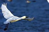黑面琵鷺:13黑面琵鷺飛翔-1隻-16-鸛形目鹮科琵鷺屬-台南七股-20101221-賴鵬智攝-縮小檔.JPG