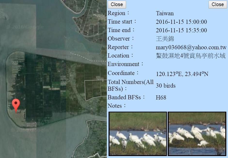 黑琵H68在鰲鼓濕地登錄紀錄-20161115-王美錦.jpg - 黑面琵鷺