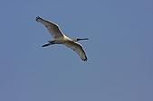 黑面琵鷺:14黑面琵鷺飛翔-1隻-8-鸛形目鹮科琵鷺屬-台南七股-20101221-賴鵬智攝-縮小檔.JPG