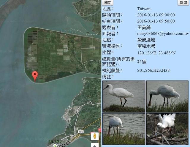 黑琵H23H38S01S56在鰲鼓濕地登錄紀錄-20160113-王美錦.jpg - 黑面琵鷺