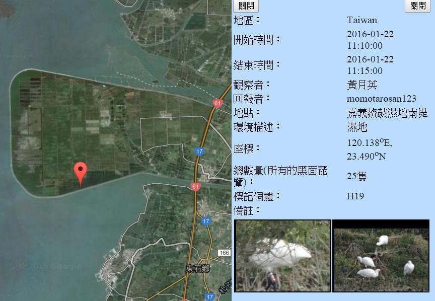 黑琵H19在鰲鼓濕地登錄紀錄-20160122-黃月英.jpg - 黑面琵鷺