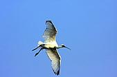 黑面琵鷺:15黑面琵鷺飛翔-1隻-5-鸛形目鹮科琵鷺屬-台南七股-20101221-賴鵬智攝-縮小檔.JPG
