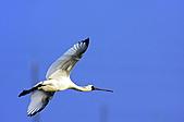黑面琵鷺:16黑面琵鷺飛翔-1隻-13-鸛形目鹮科琵鷺屬-台南七股-20101221-賴鵬智攝-縮小檔.JPG