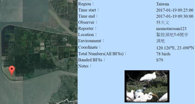 黑琵S79在鰲鼓濕地登錄紀錄-20170119-林火文-縮.jpg - 黑面琵鷺