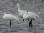 黑面琵鷺:黑琵S79在鰲鼓濕地-201504191743-黃月英攝-1.jpg