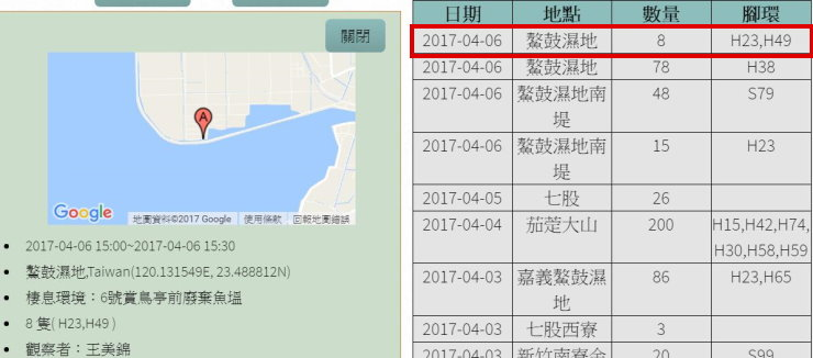 黑琵H23H49在鰲鼓濕地登錄紀錄-20170406-王美錦-縮-後製.jpg - 黑面琵鷺