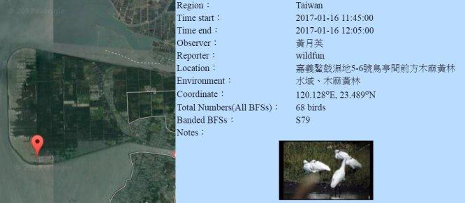 黑琵S79在鰲鼓濕地登錄紀錄-20170116-黃月英-縮.jpg - 黑面琵鷺