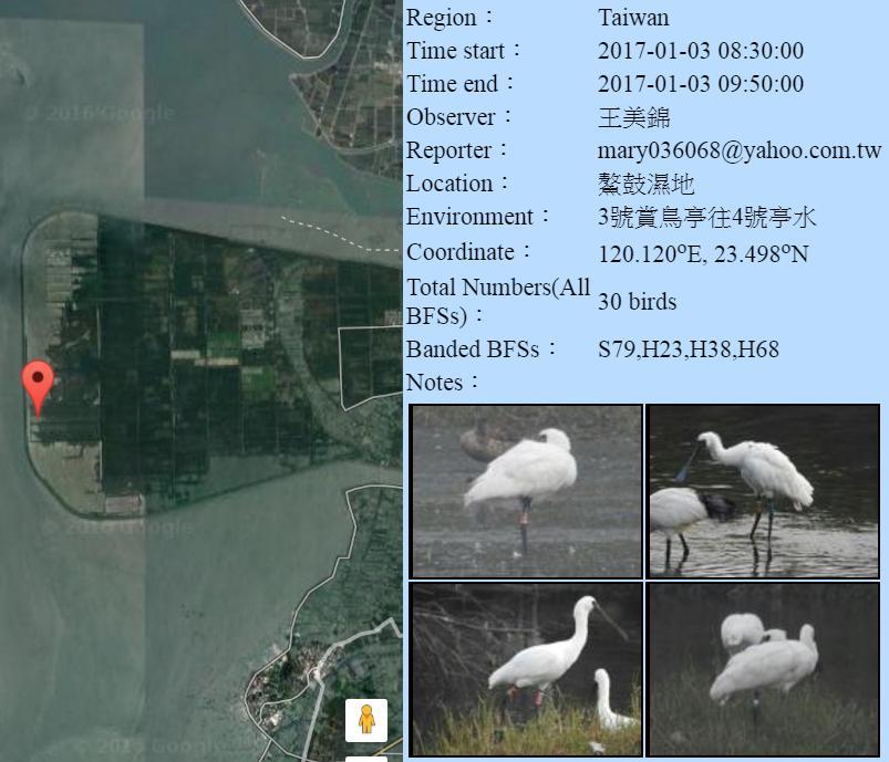 黑琵S79,H23,H38,H68在鰲鼓濕地登錄紀錄-20170103-王美錦.jpg - 黑面琵鷺