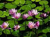 生活:Water lilies.jpg