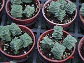 多肉植物-08年-夏季植物:TT-星之王子.JPG