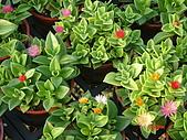 多肉植物-08年-開花植物:TT-F-太陽玫瑰.JPG