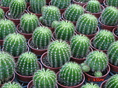 多肉植物-08年-仙人掌:TT-O-金盛丸.JPG