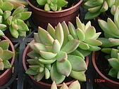 多肉植物-08年-石蓮:T-S-銘月石蓮(帶子).JPG
