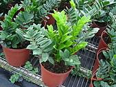 多肉植物-08年-母棵中苗:M8-TT-DN-金錢樹.JPG