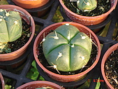 多肉植物-08年-仙人掌:TT-O-AA-兜.JPG