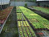 溫室設施-08年:全日照區-太陽玫瑰.JPG