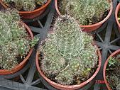 多肉植物-08年-仙人掌:TT-O-紫姬(白刺).JPG