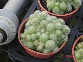 多肉植物-08年-仙人掌:TT-O-F-白寶丸.JPG