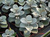 多肉植物-08年-夏季植物:TT-白姬之舞.JPG