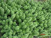 多肉植物-08年-母棵中苗:M6-TT-蒼龍閣(青龍).JPG