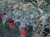 多肉植物-08年-母棵中苗:M8-TT仙人扇.JPG