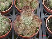 多肉植物-08年-仙人掌:TT-O-紫姬(紅刺).JPG