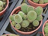 多肉植物-08年-仙人掌:TT-O-F-紅毛丹.JPG