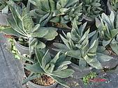 多肉植物-08年-母棵中苗:M6-TT-墨鉾.JPG