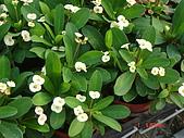 多肉植物-08年-開花植物:TT-F-麒麟花(白色大花).JPG