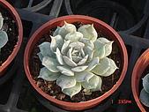 多肉植物-08年-石蓮:T-S-AA-玉蝶.JPG