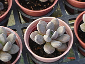 多肉植物-08年-石蓮:T-S-蛋蛋石蓮.JPG
