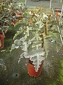多肉植物-08年-母棵中苗:M8-TT-仙人扇(高).JPG