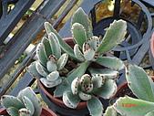 多肉植物-08年-夏季植物:TT-兔耳草.JPG
