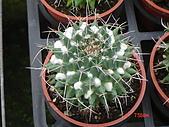 多肉植物-08年-仙人掌:TT-O-F-釋迦仙人球.JPG